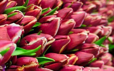 Tulpen, Käse & Party.nl
